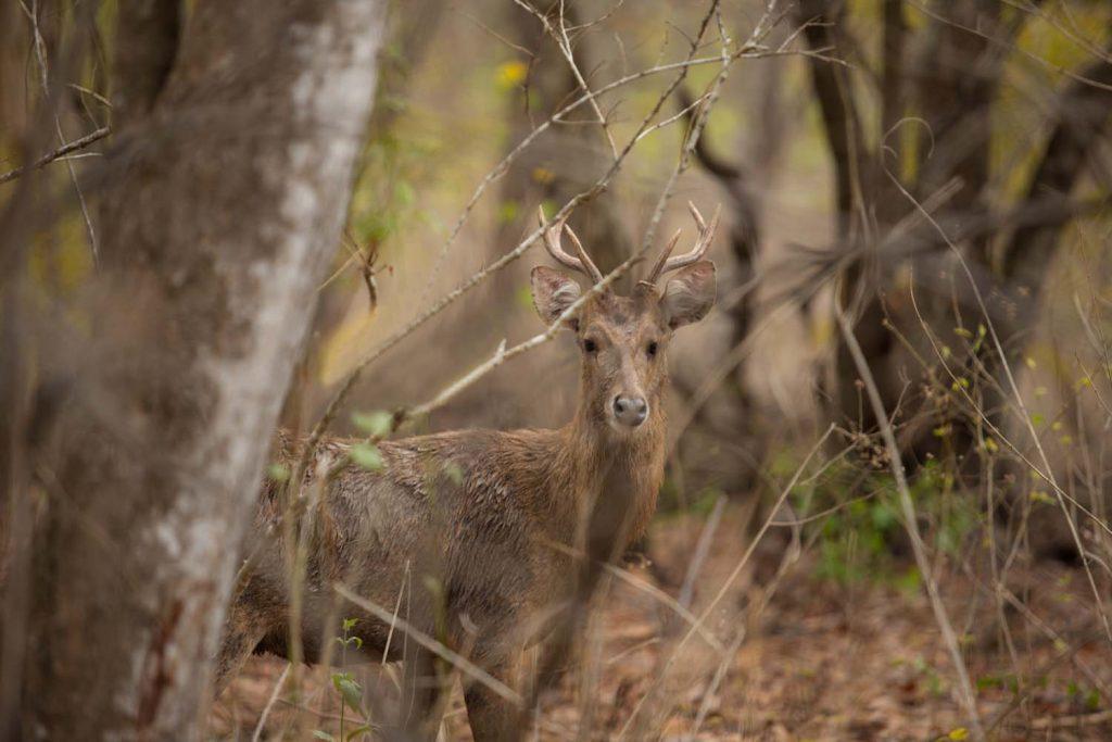 plataran menjangan-deer